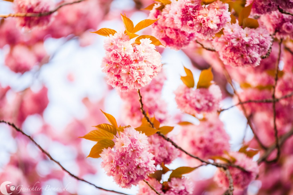 Projekt-Kirschblüte-IMG_6530-web